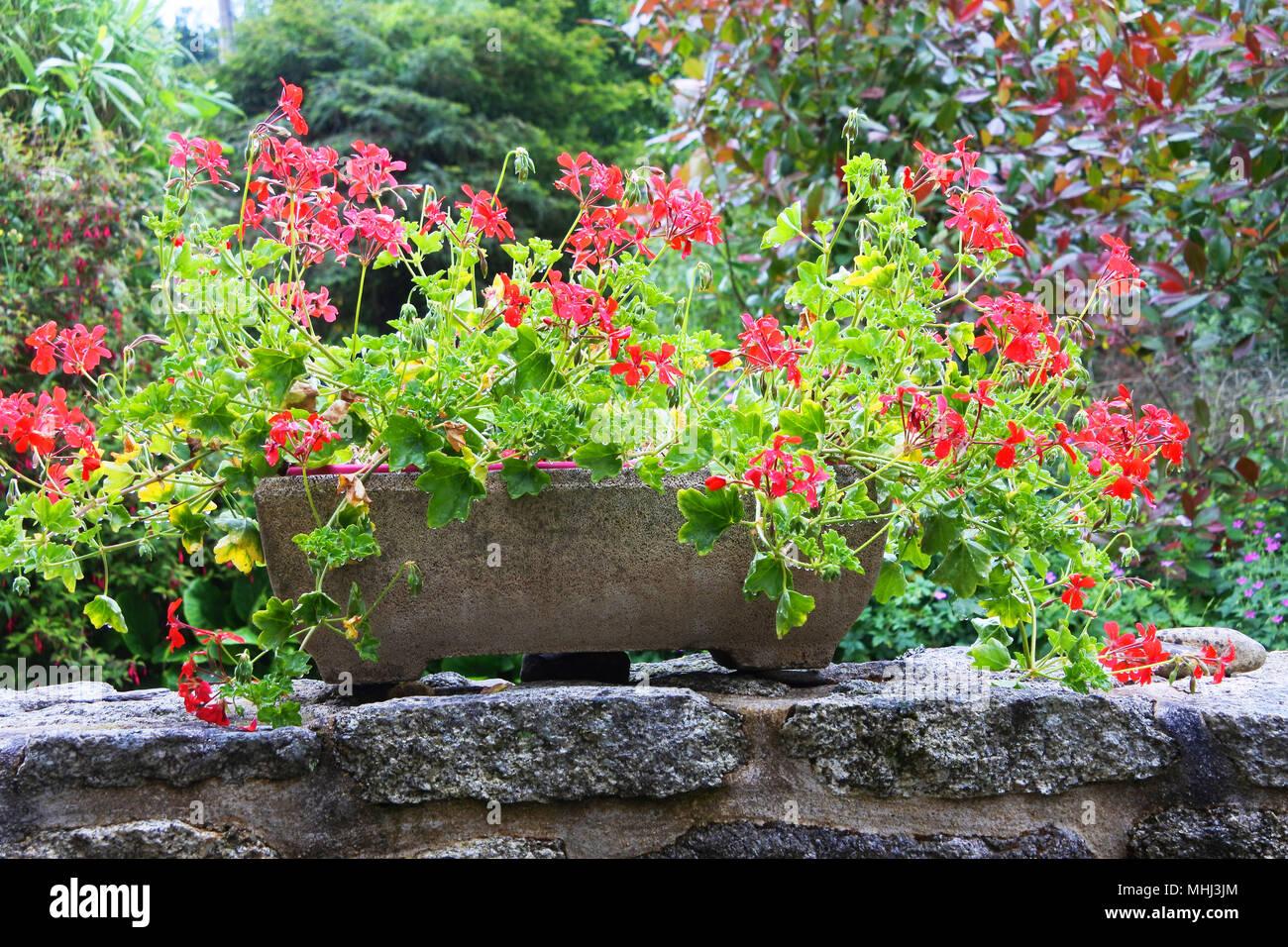 Flowering pelargoniums in a terra cotta window box - John Gollop - Stock Image