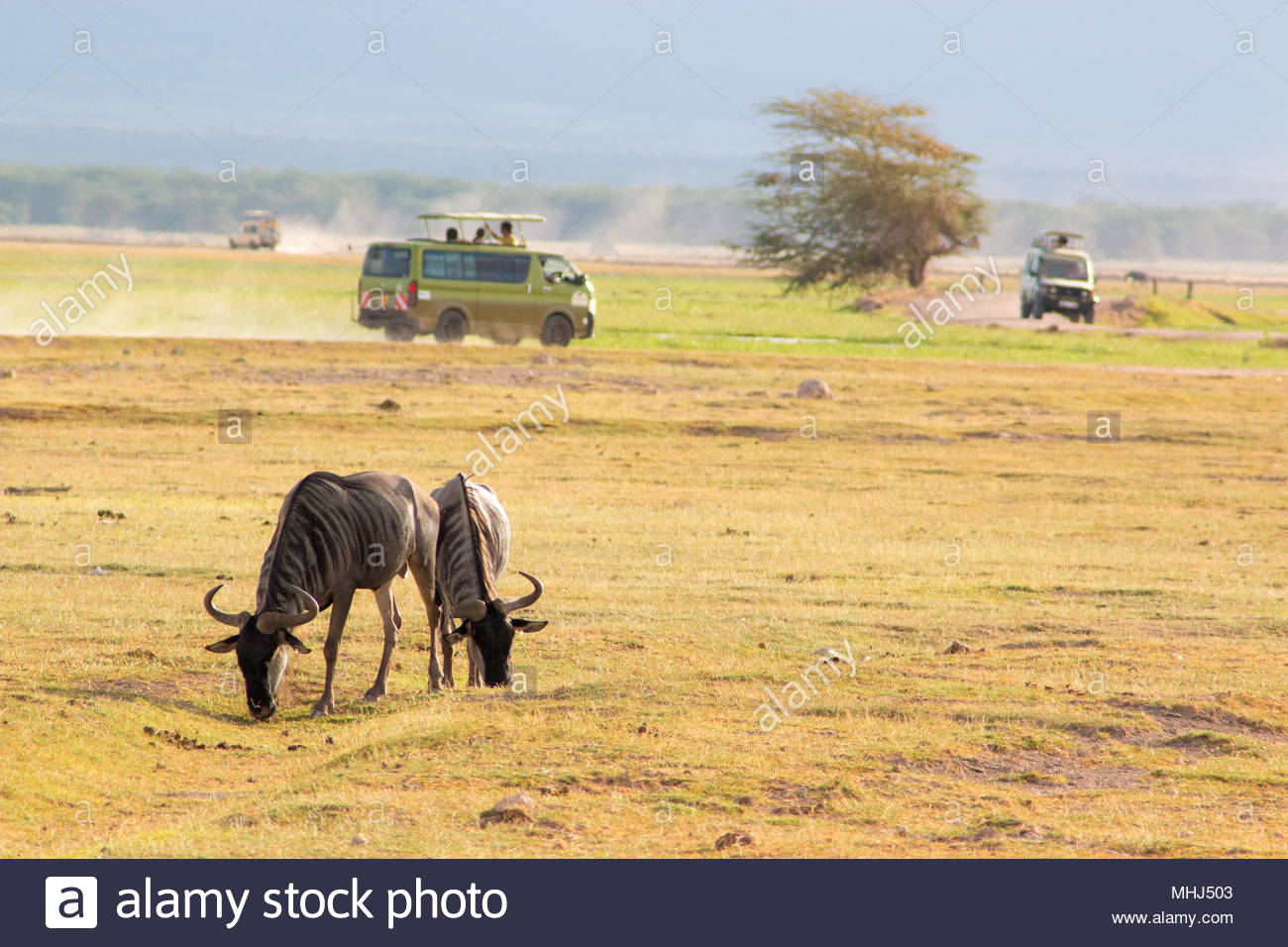 Amboseli National Park (Kenya), 21 February 2018. Wildebeest grazing grass, with jeep in the background during a safari. - Stock Image