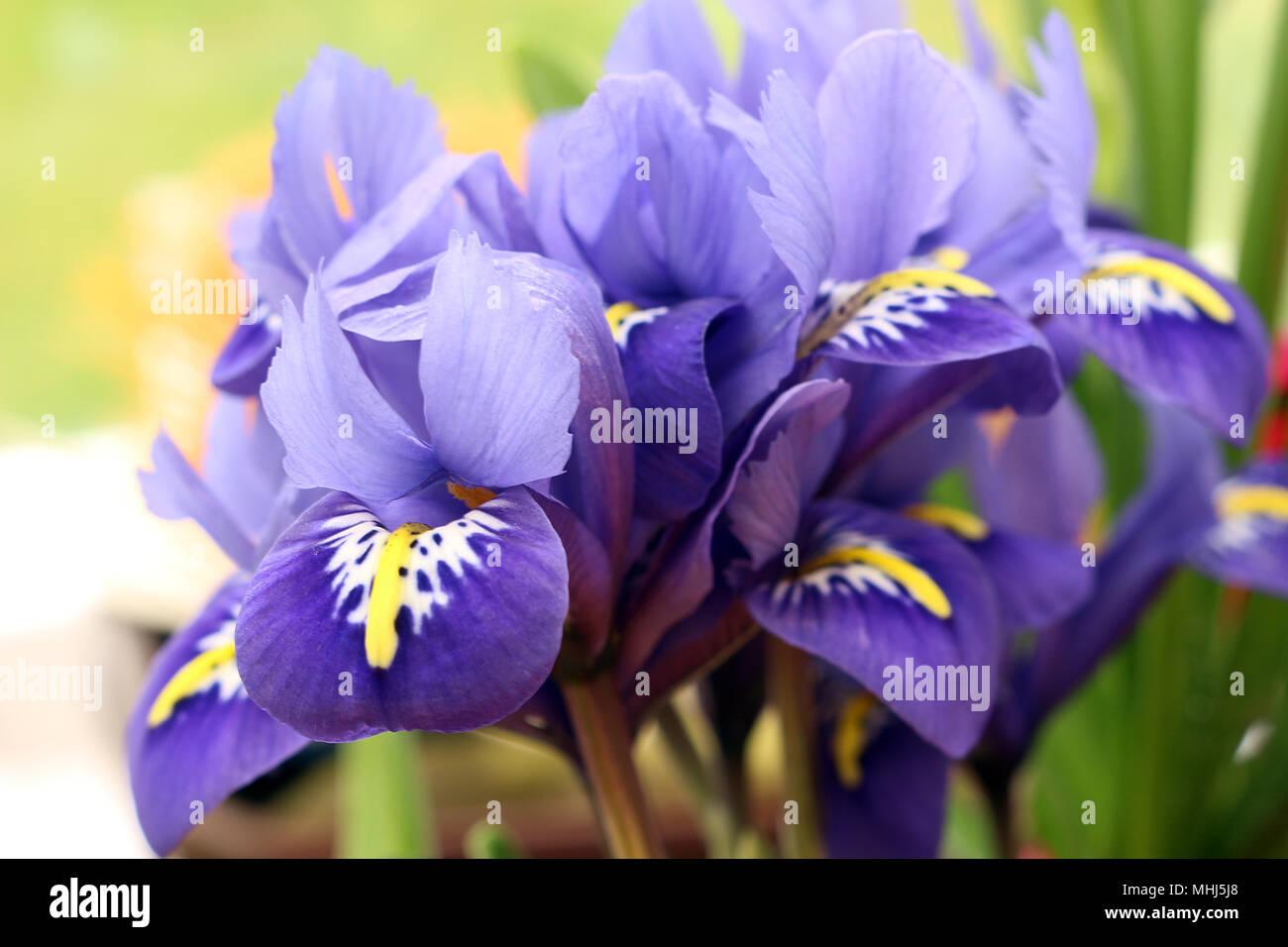 Purple yellow iris flower arrangement stock photos purple yellow iris reticulata or netted iris stock image izmirmasajfo