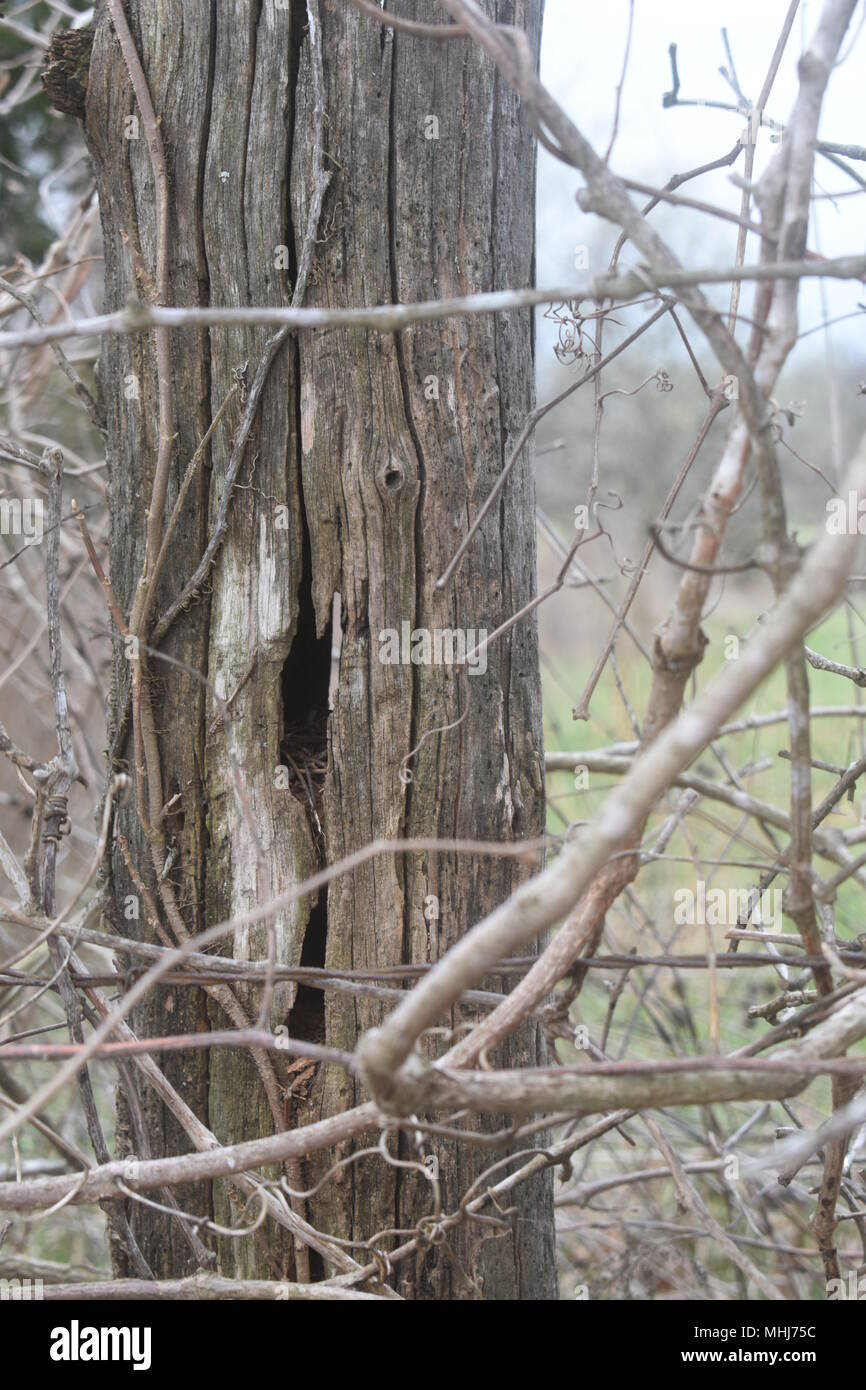 Old weathered fence post and barbed wire fence, overgrown with twigs and vines, bordering pastureland on a cattle farm in rural Missouri. - Stock Image