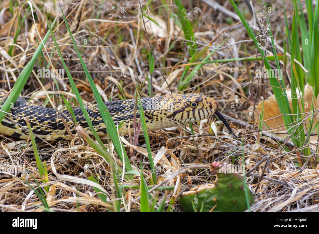 Gopher Snake in early spring, Castle Rock Colorado US - Stock Image