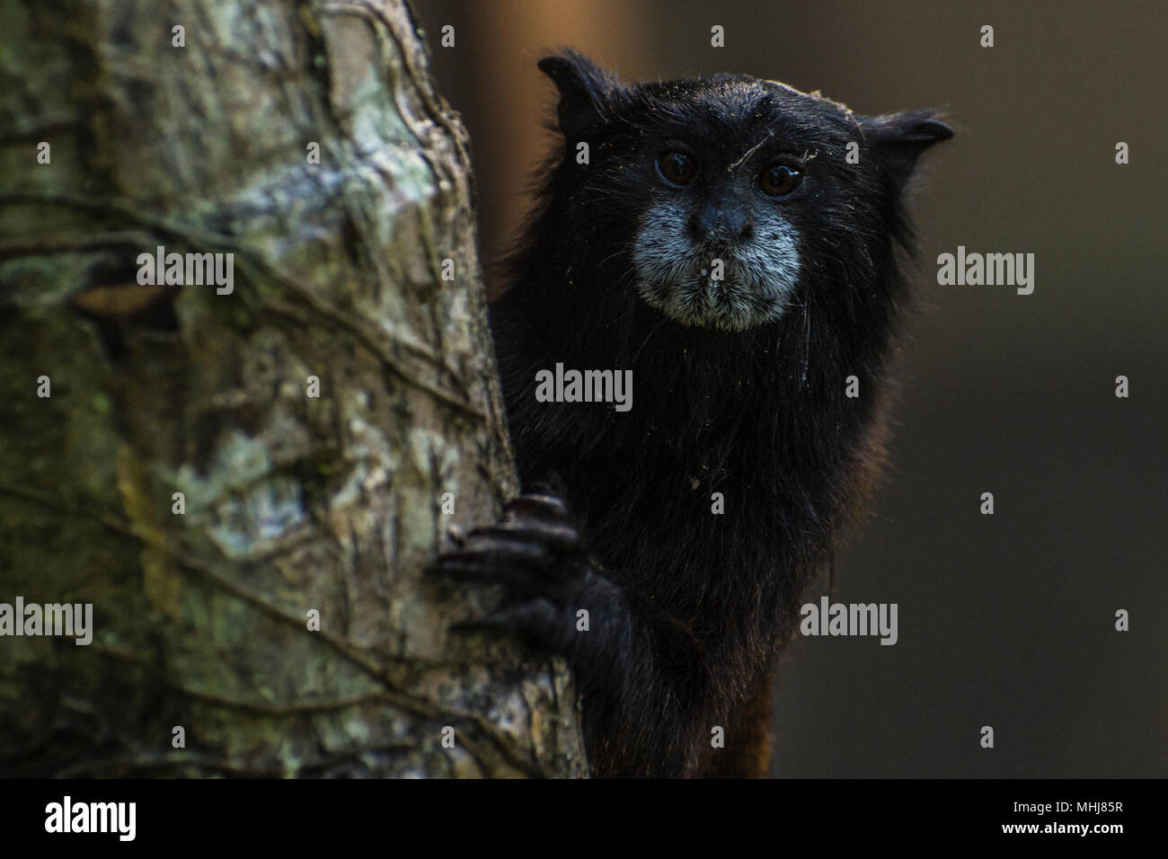 A urban saddle backed tamarin monkey from the edge of Tarapoto, in the San Martin department of Peru. - Stock Image