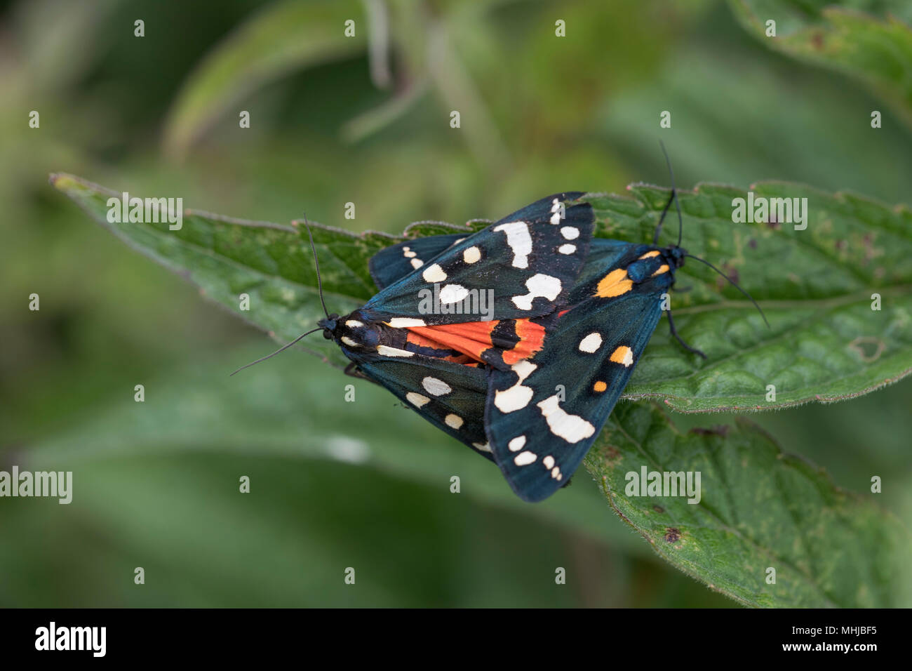 Scarlet Tiger Moth; Callimorpha dominula Pair Mating Cornwall; UK - Stock Image