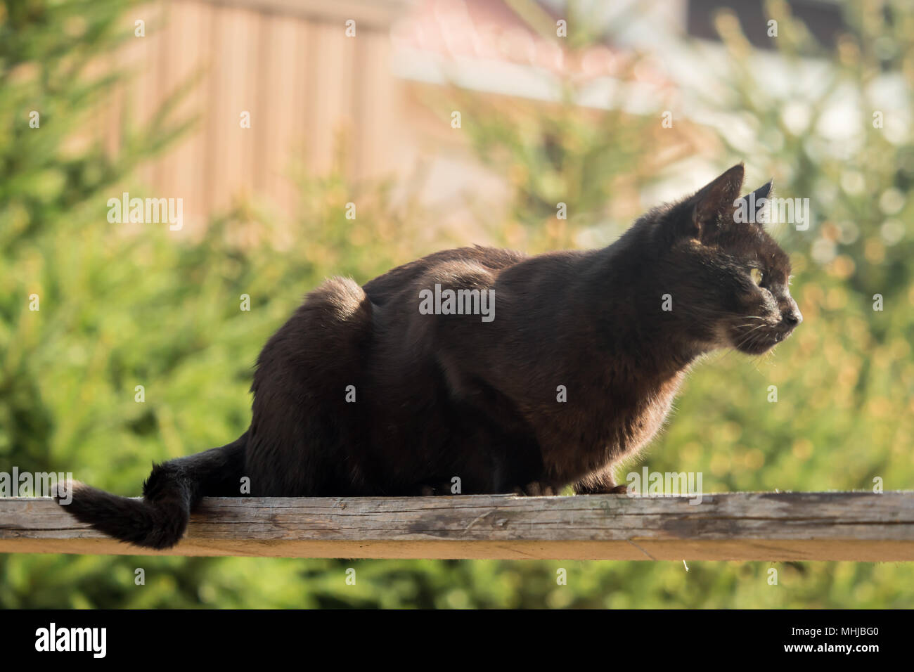 A dark brown cat sits on a wooden board in the sunlight Stock Photo