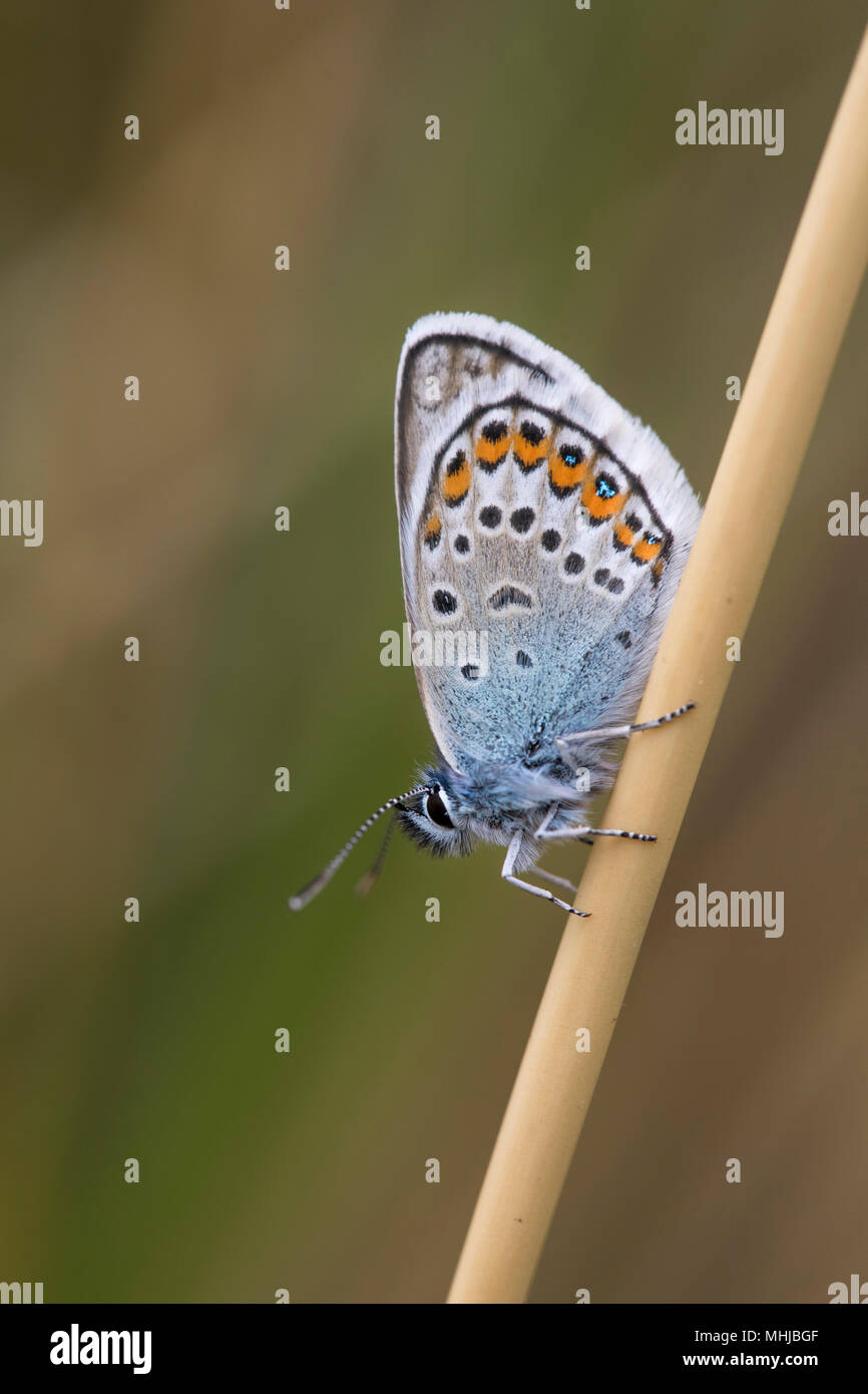 Silver Studded Blue Butterfly; Plebejus argus Single on Stem Cornwall; UK - Stock Image