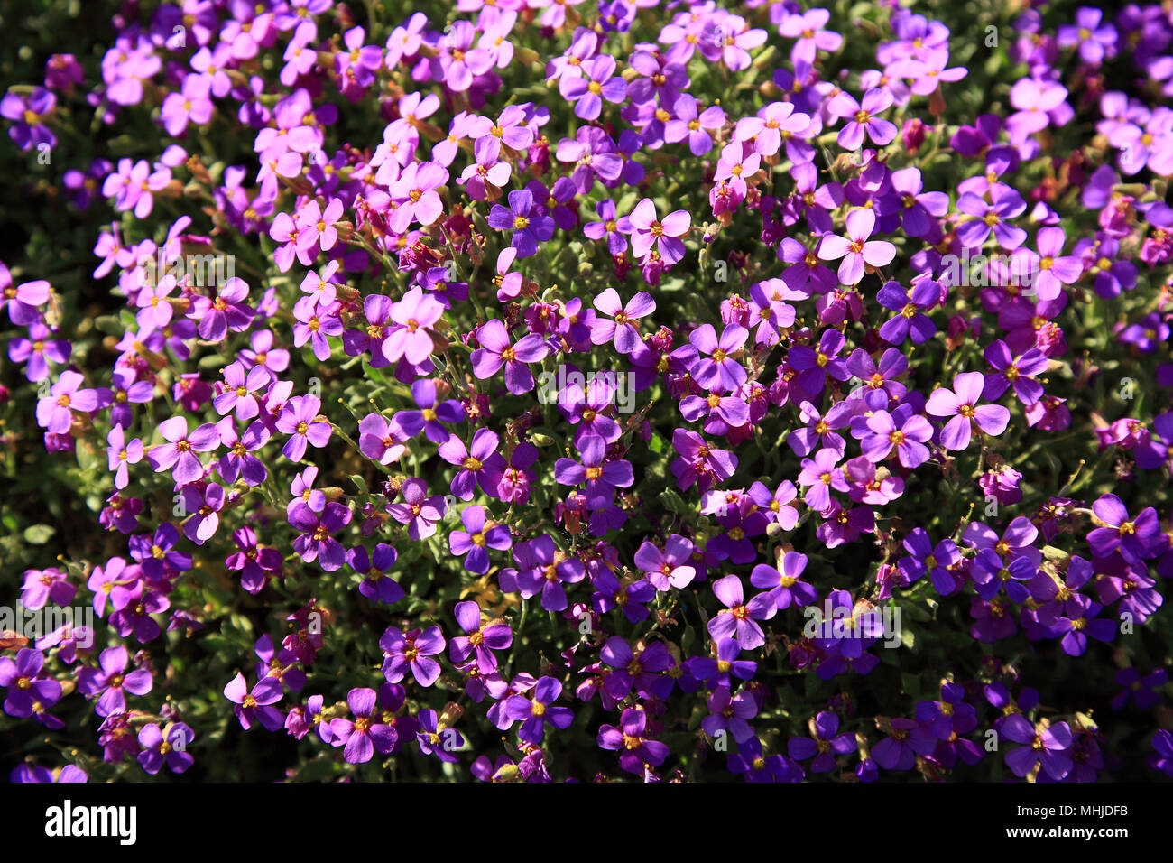 Aubrieta deltoidea is a species of flowering plant in the mustard family. Common names are lilacbush, purple rock cress and rainbow rock cress Stock Photo