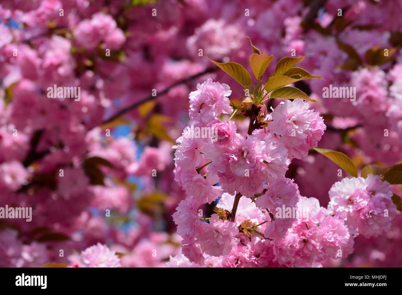 Spring Floral Background Full Frame Of Japanese Cherry Flowers