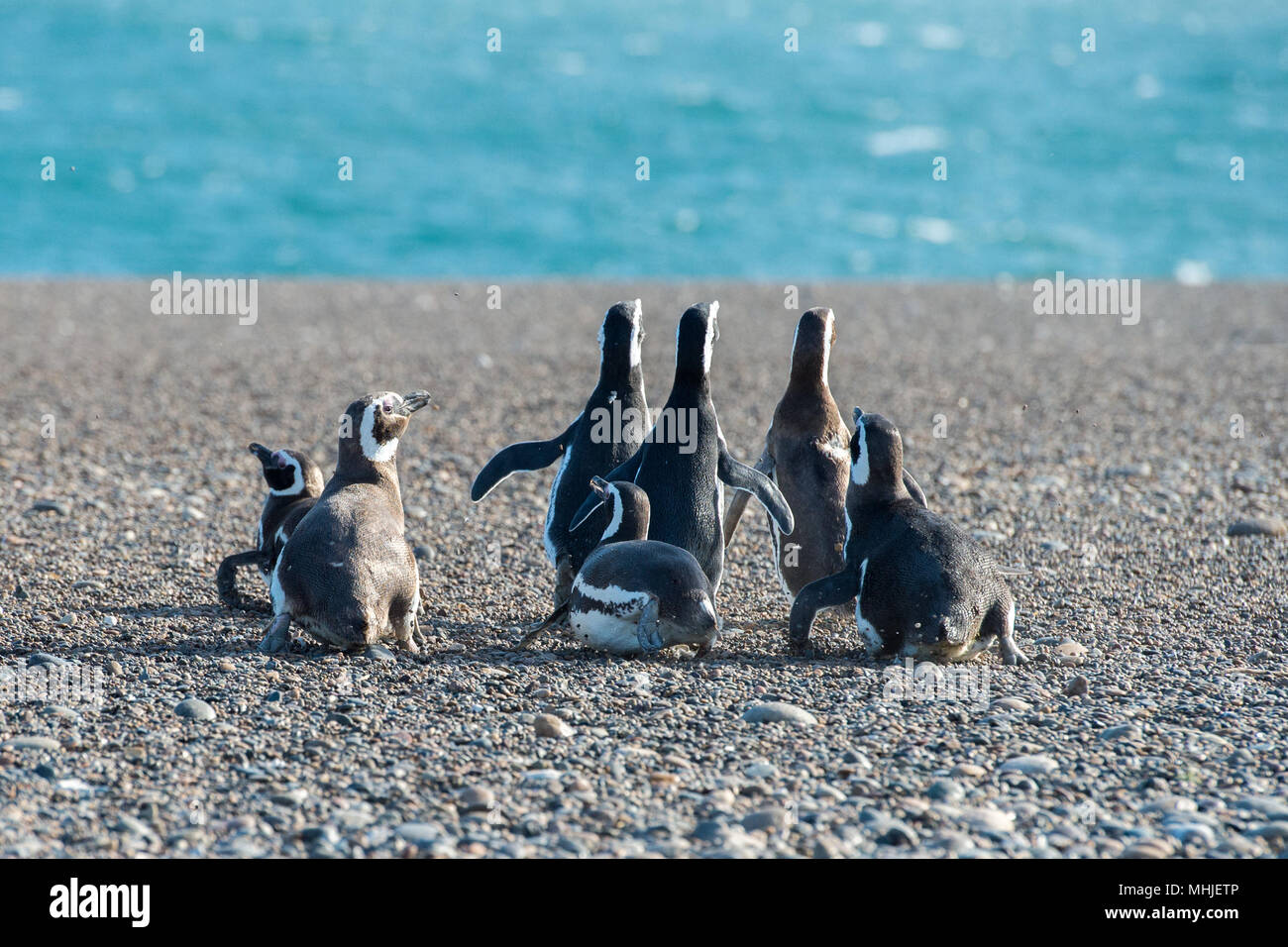 Patagonia penguin group while walking on the beach Stock Photo