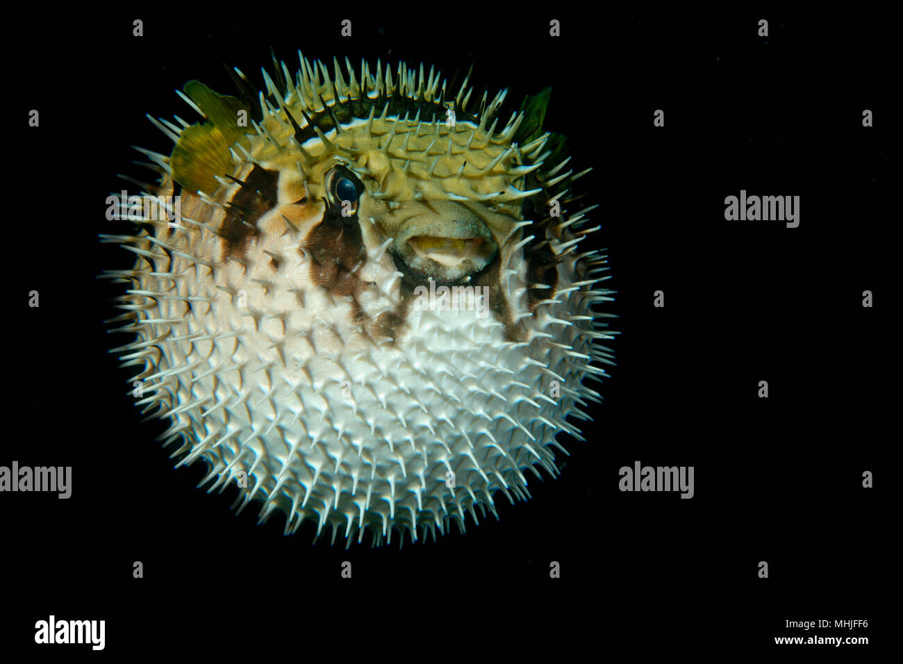 Inflated porcupine puffer ball fish isolated on black while night diving Stock Photo