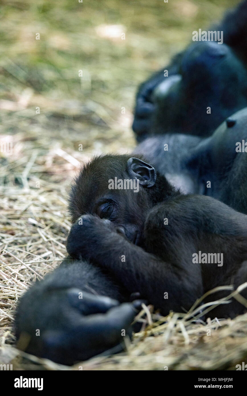baby gorilla sleeping on mother arm - Stock Image