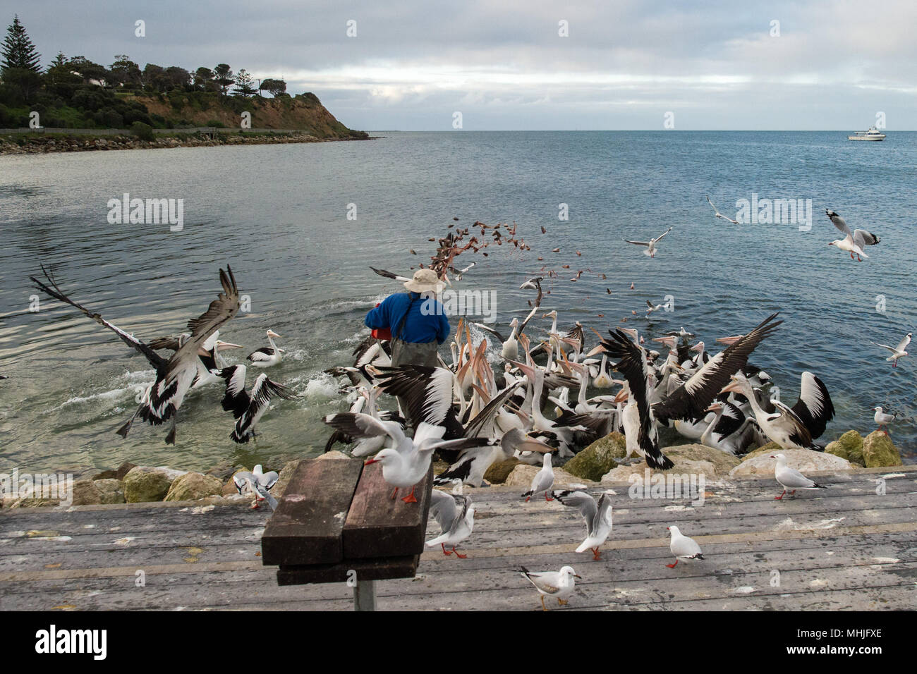 KINGSCOTE, AUSTRALIA - SEPTEMBER, 3 2015 - Pelican feeding in Kangaroo Island, every day at 5 pm this man feeds pelicans Stock Photo