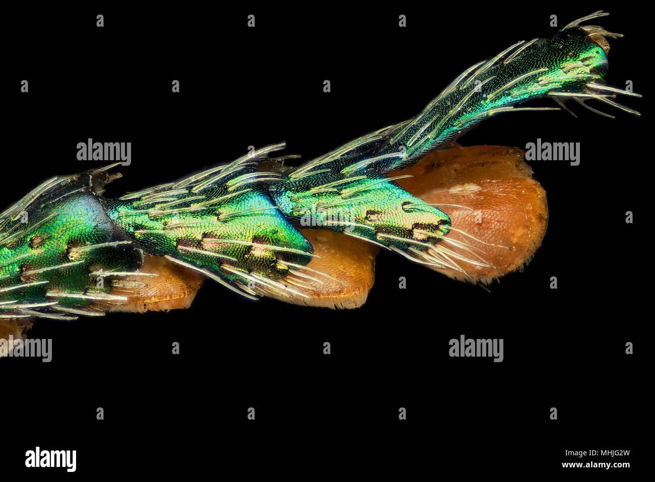 jewel beetle leg - buprestidae - Stock Image