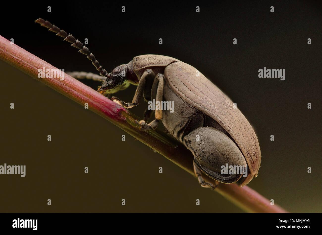 Chrysomelidae - Stock Image