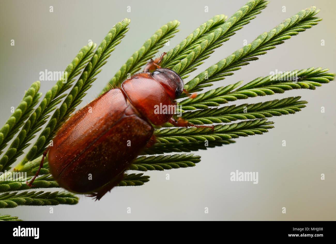 Beetle - Stock Image