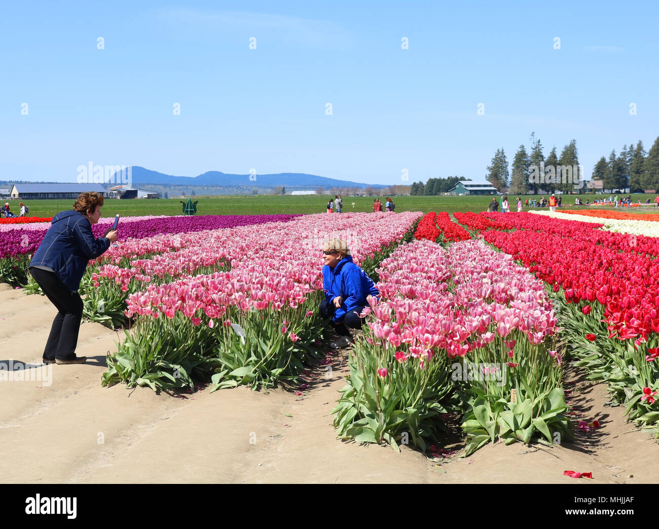 Woman posing in the field ot tulips while her friend is taking her picture at the Skagit Valley Tulip Festival in Mount Vernon, Washington, USA. Stock Photo