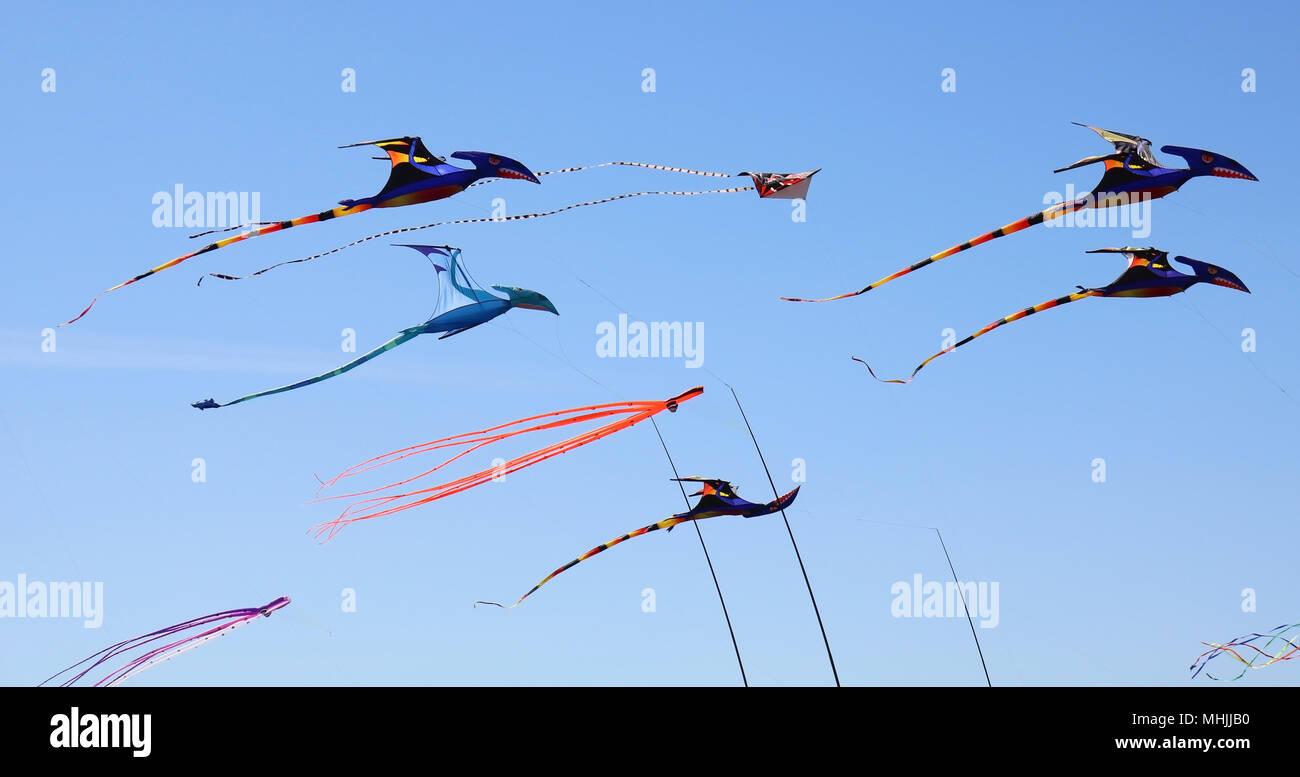 Kites flying at the Skagit Valley Tulip Festival in Mount Vernon, Washington, USA.  Kites are at Tulip Town.  Kites are of prehistoric birds or dinosa - Stock Image