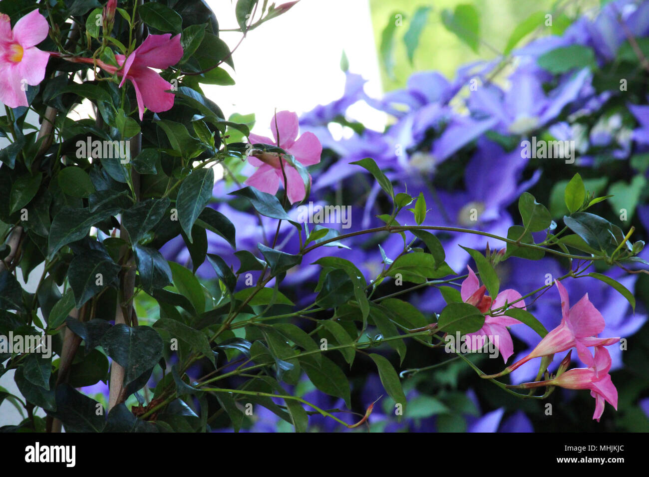 Close Up Of A Pink Mandevilla Flowering Vine With Blurred Purple