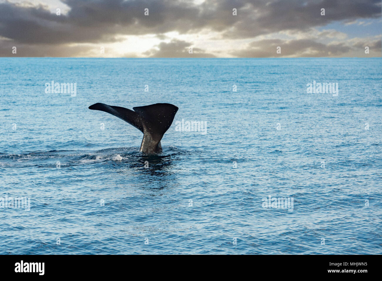 Sperm whale tail on sunset sky background Stock Photo