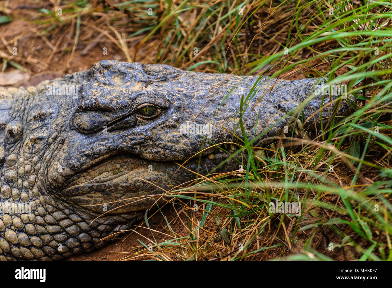 Nile crocodile (Crocodylus niloticus), an African crocodile and the second largest extant reptile in the world, after the saltwater crocodile. - Stock Image