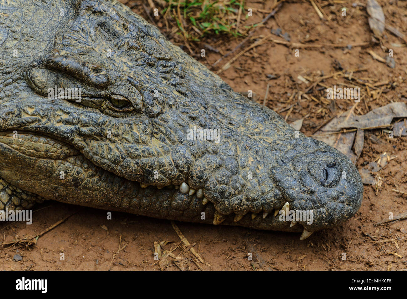 Portrait of a Nile crocodile (Crocodylus niloticus), an African crocodile and the second largest extant reptile in the world, after the saltwater croc - Stock Image