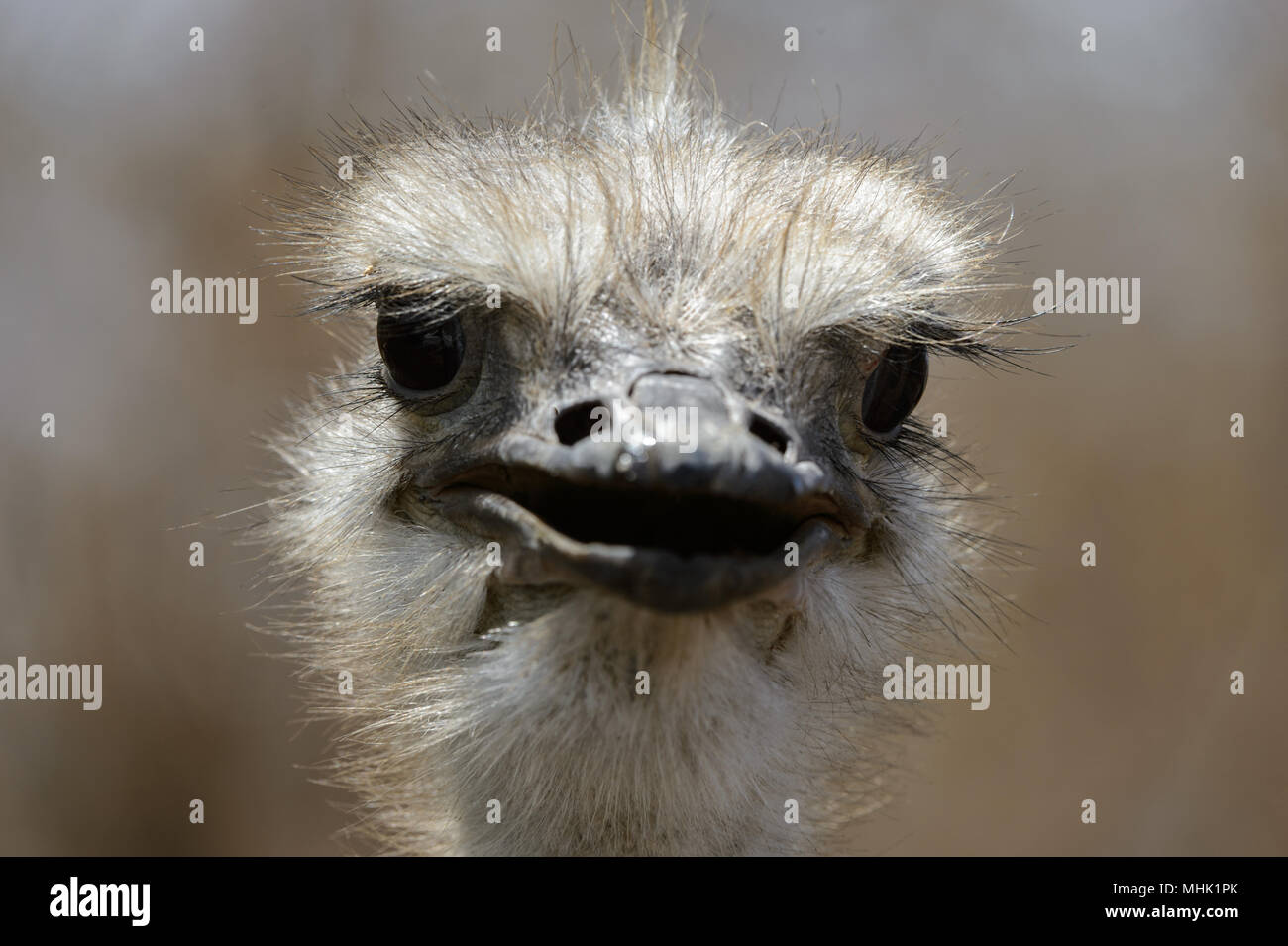 Front portrait of an ostrich Stock Photo