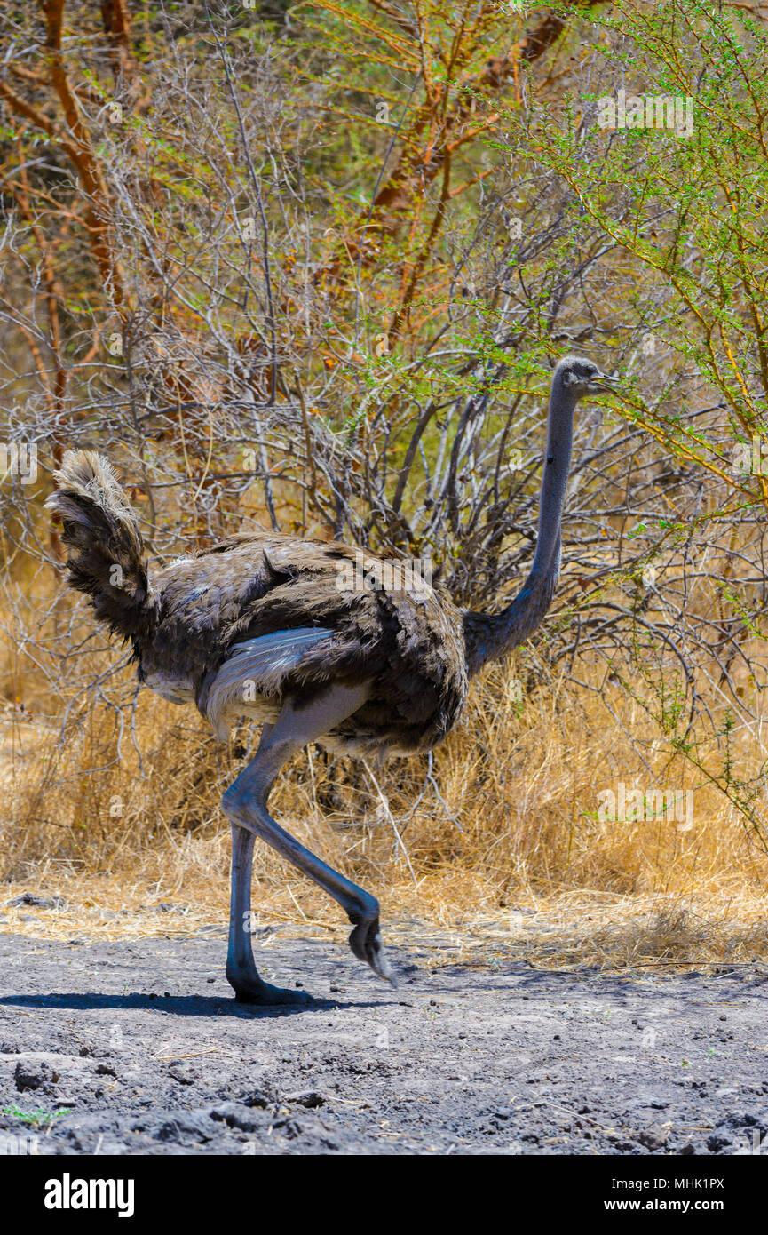 Ostrich walks over the savanna - Stock Image