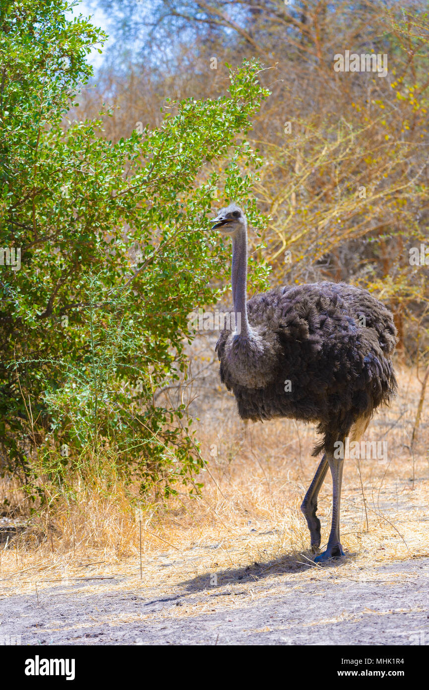 African ostrich walks in Senegal Stock Photo