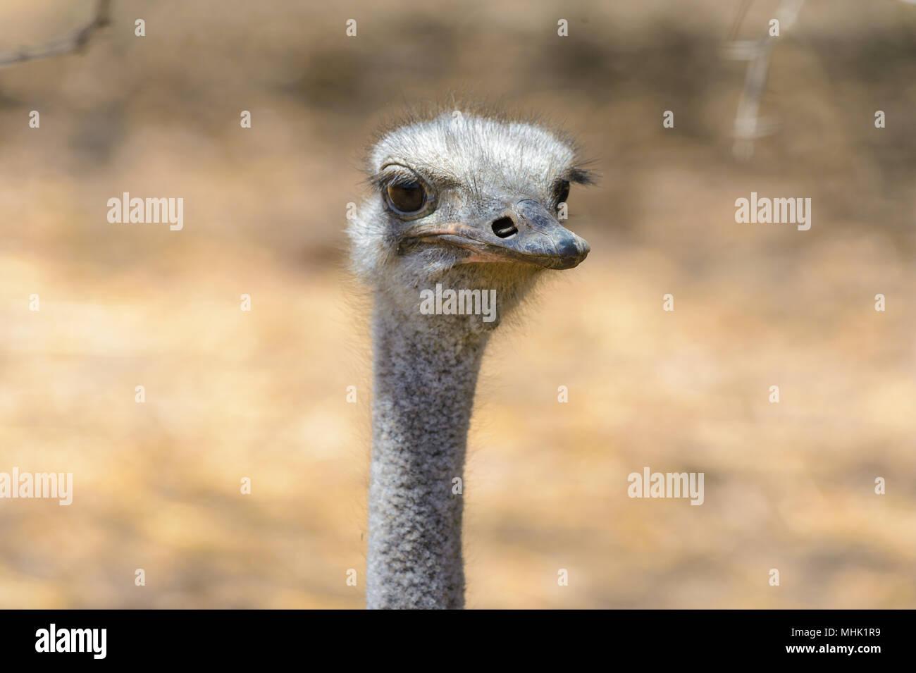 Head a brainless ostrich - Stock Image
