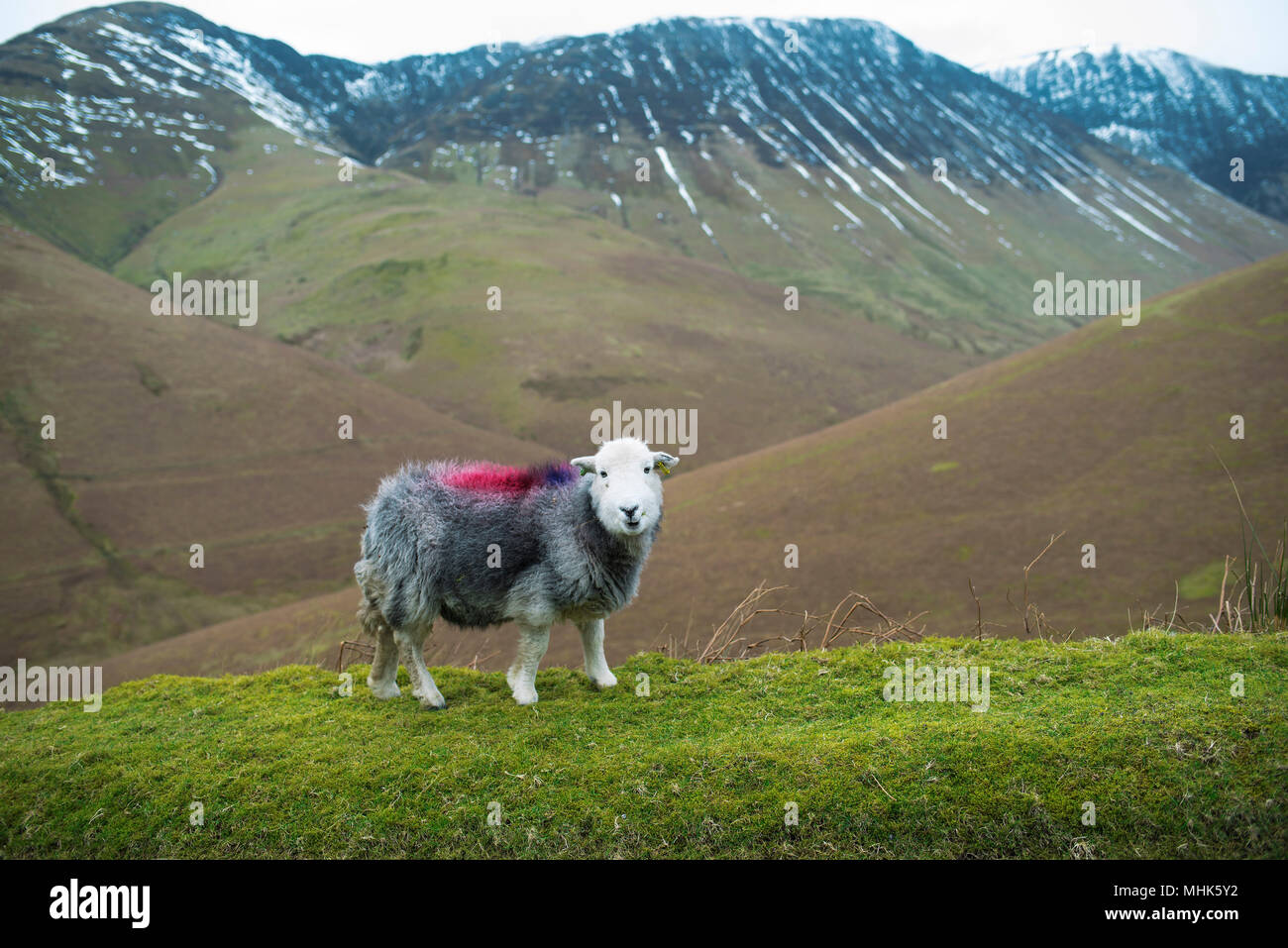 Herdwick lamb posing for the camera in the fields of Windermere, Cumbria, UK. Feb 2018 - Stock Image
