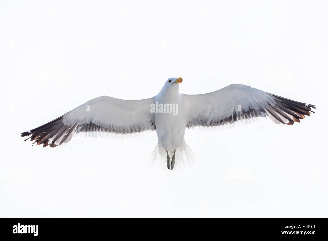 Albatross of the Walvis Bay, Namibia - Stock Image