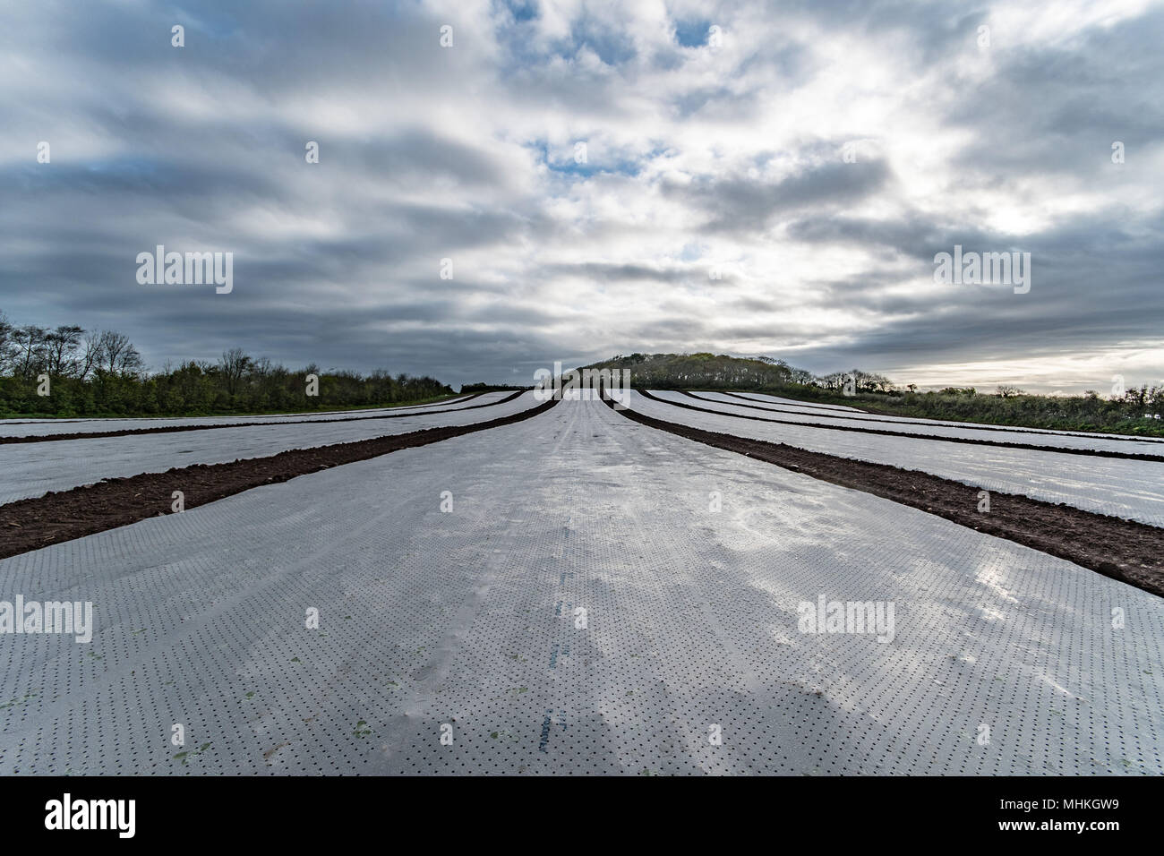 Protective film covering crops of young cabbage in spring, long perspective shot with moody cloudy sky. - Stock Image