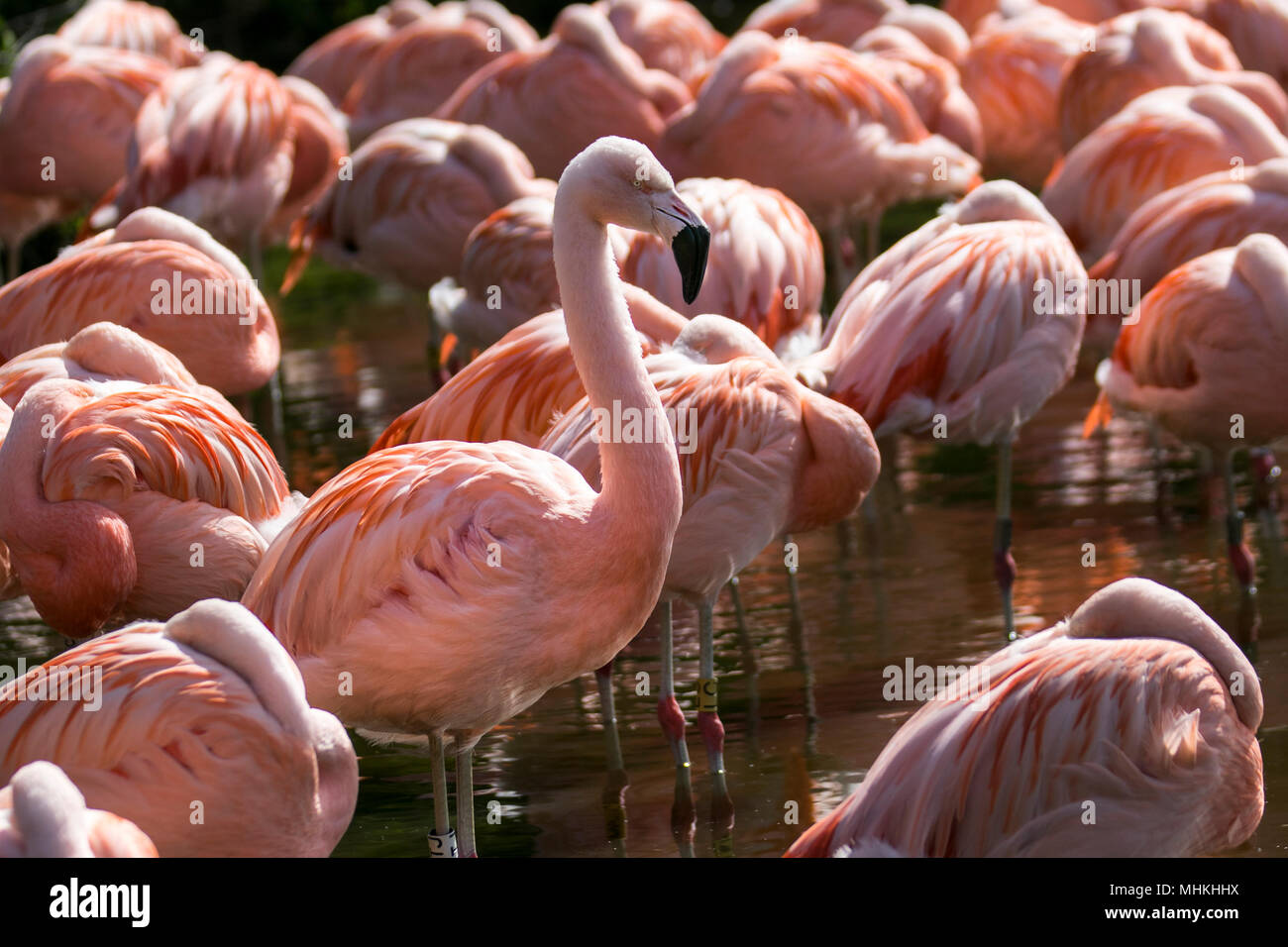 Ormskirk, Lancashire, UK. 02/05/2018.  Uk Weather. Sunny spring day for Flamingos at Martin Mere WWT. wildlife and waterfowl nature reserve. Credit:MediaWorldImages/AlamyLiveNews. - Stock Image