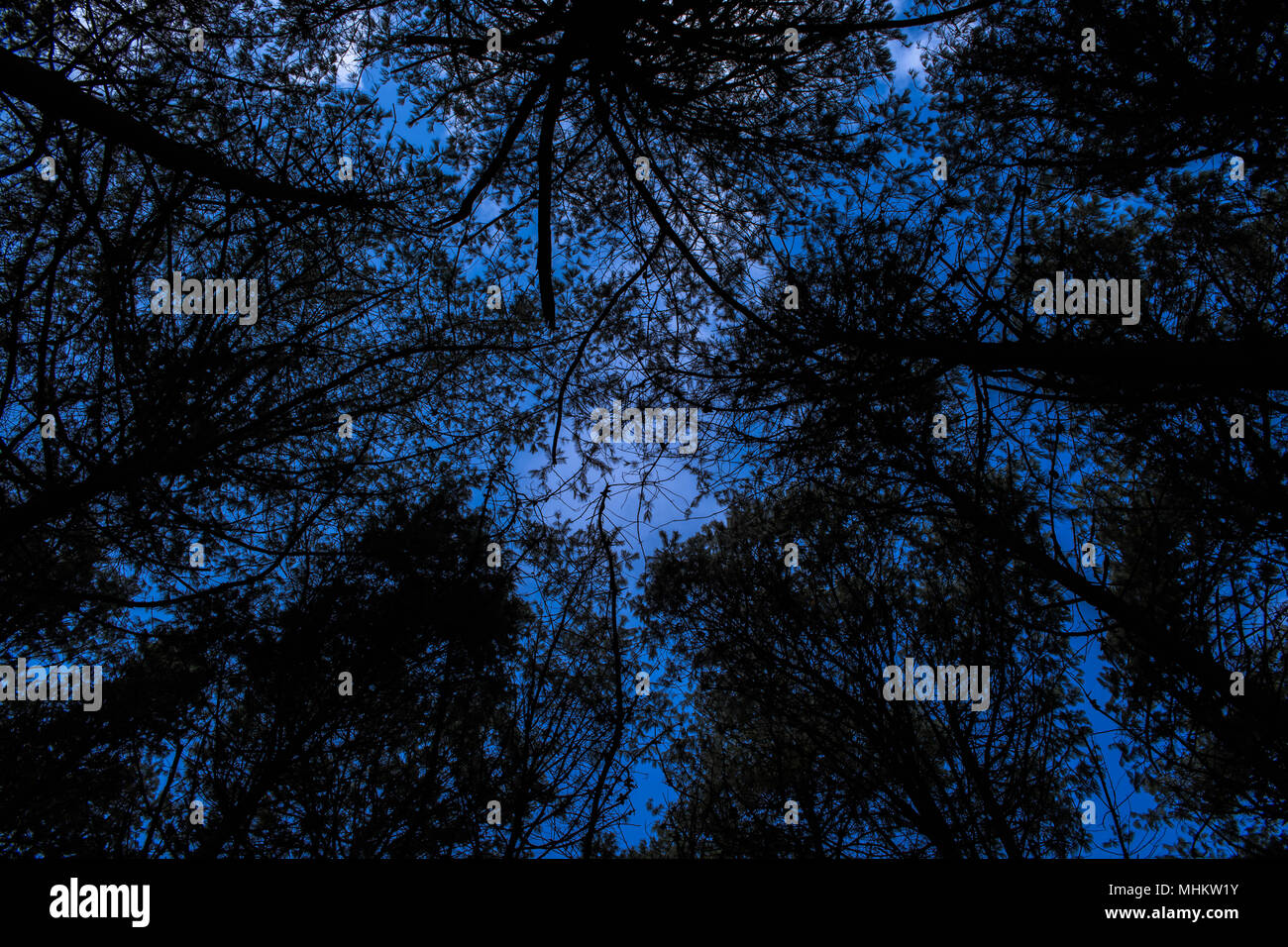 Dark trees silhouetted against a stormy sky seen from below image depicting evil - Stock Image