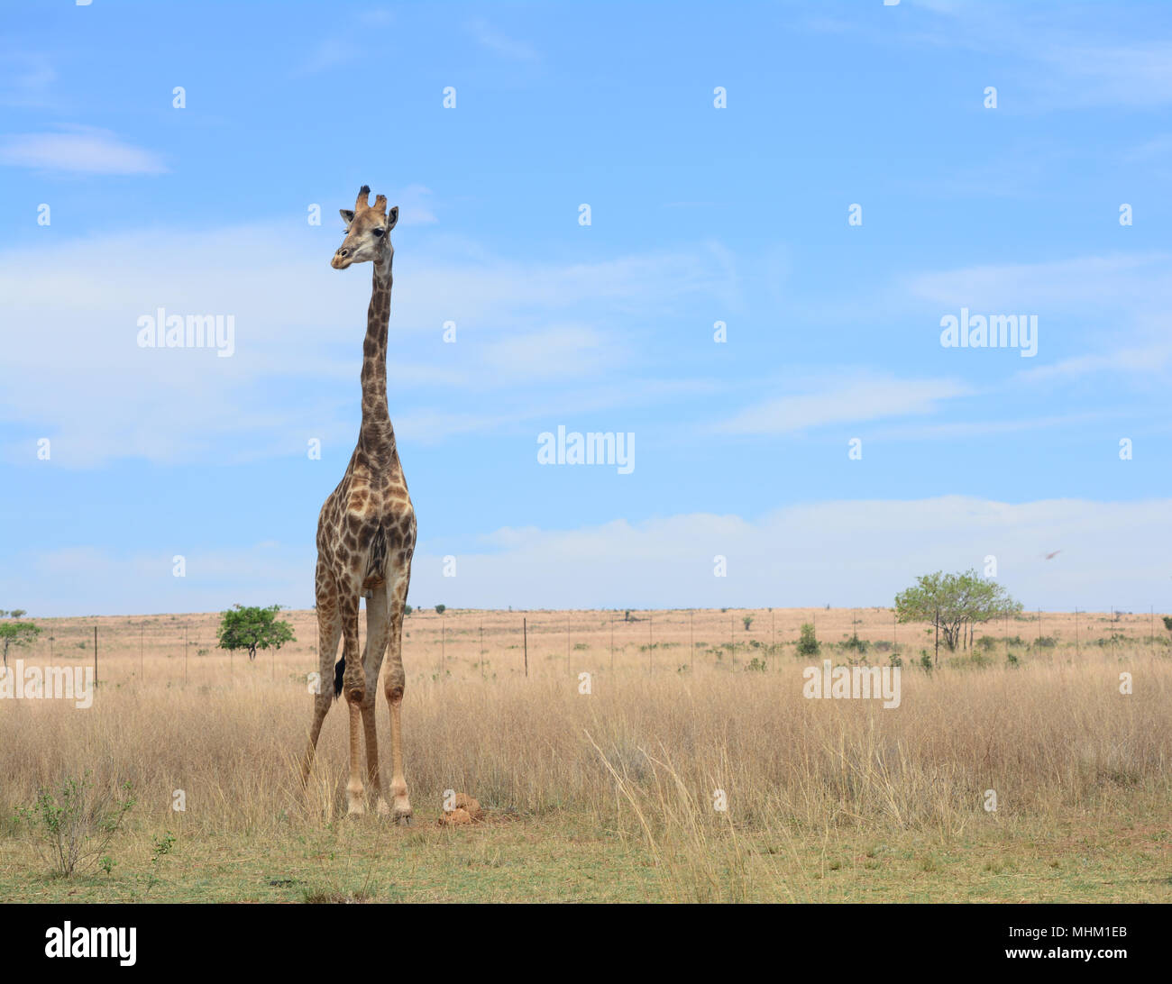Giraffe grazing in the savannah in South Africa. - Stock Image