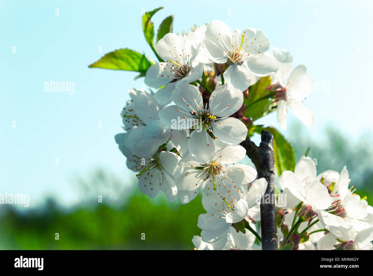 Cherry Blossom Sakura Flowers Isolated On Blue And Green Background