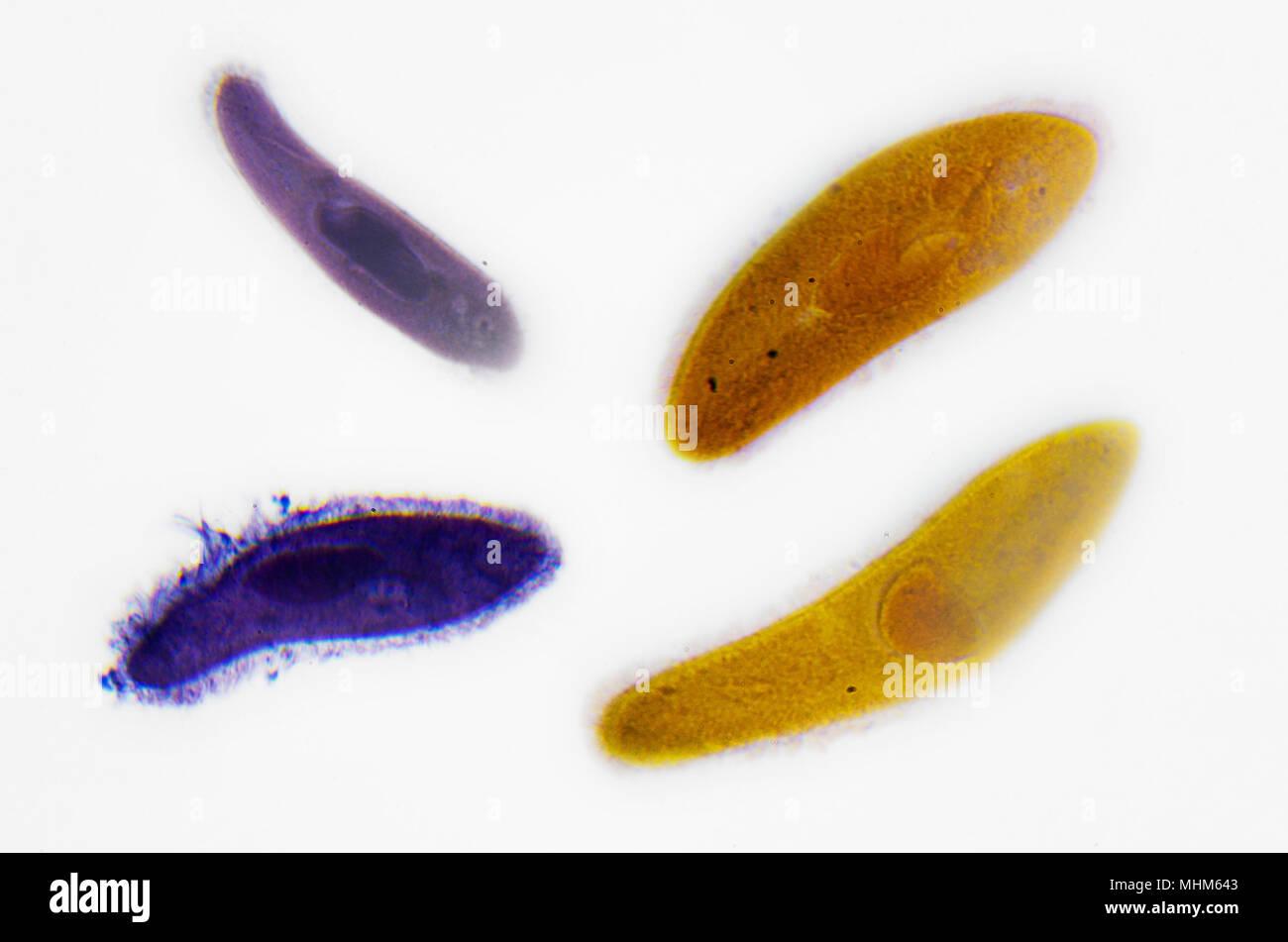 Microscopy Photography. Paramecium. - Stock Image