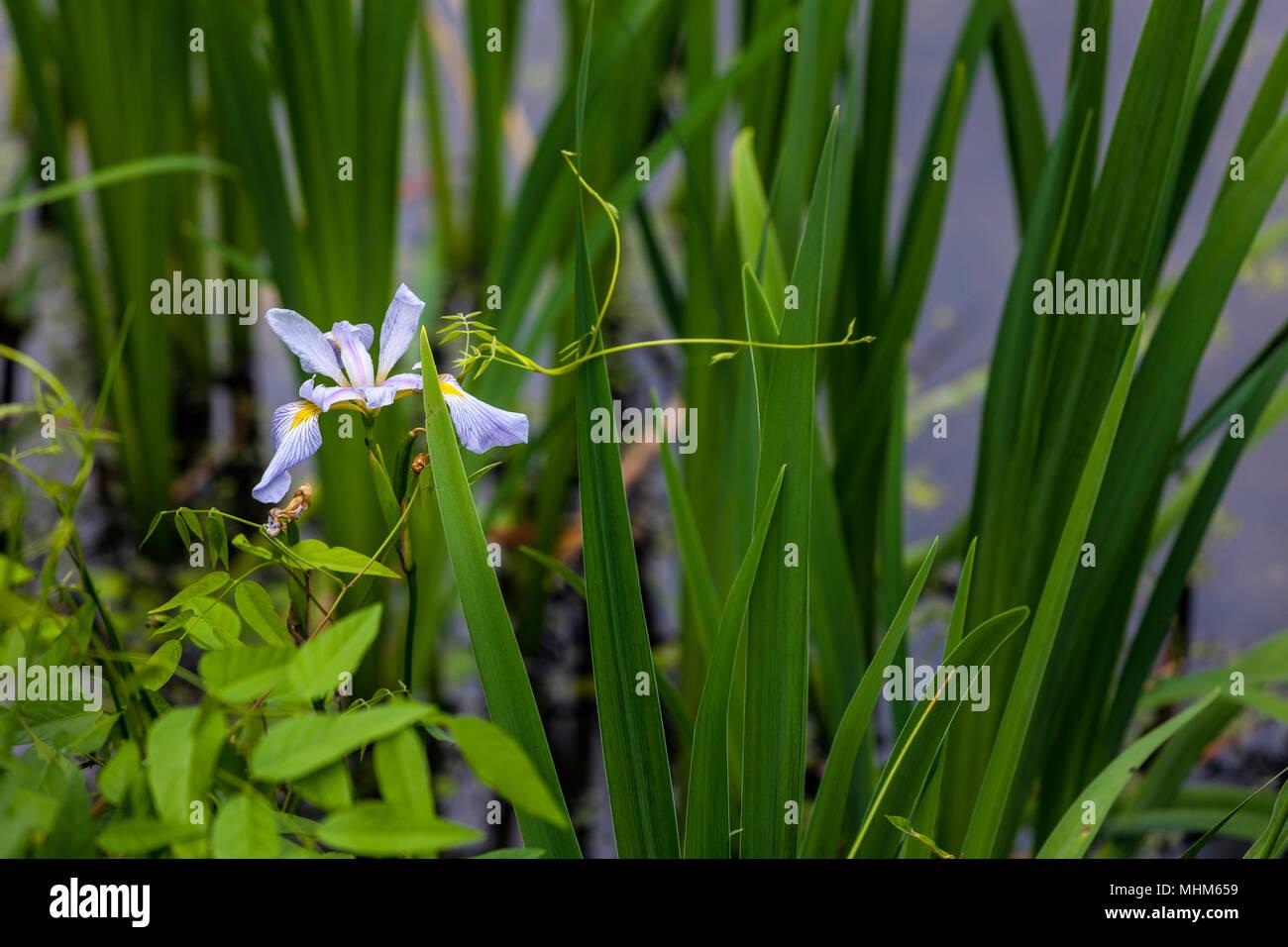 NC01820-00...NORTH CAROLINA - Wild iris flower in Merchants Millpond State Park. Stock Photo