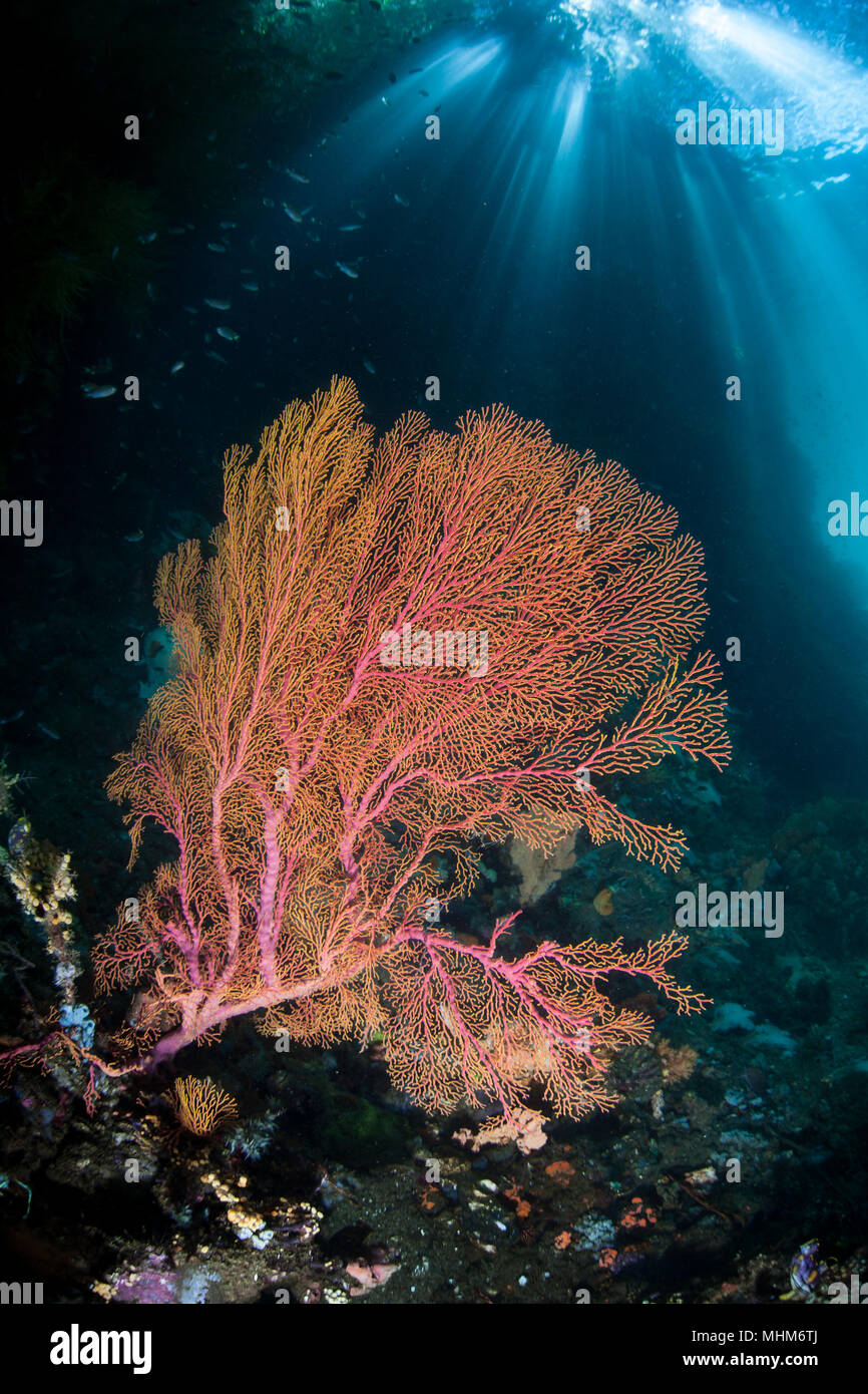 Sunlight shines on a beautiful gorgonian in Raja Ampat, Indonesia. This remote region is known as the heart of marine biodiversity. - Stock Image