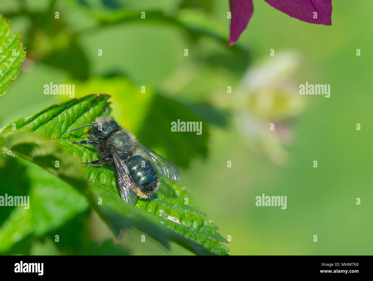 A Blue Orchard Mason Bee (Osmia lignaria) resting in the sun on the green leaf of a Salmonberry bush (Rubus spectabilis). - Stock Image