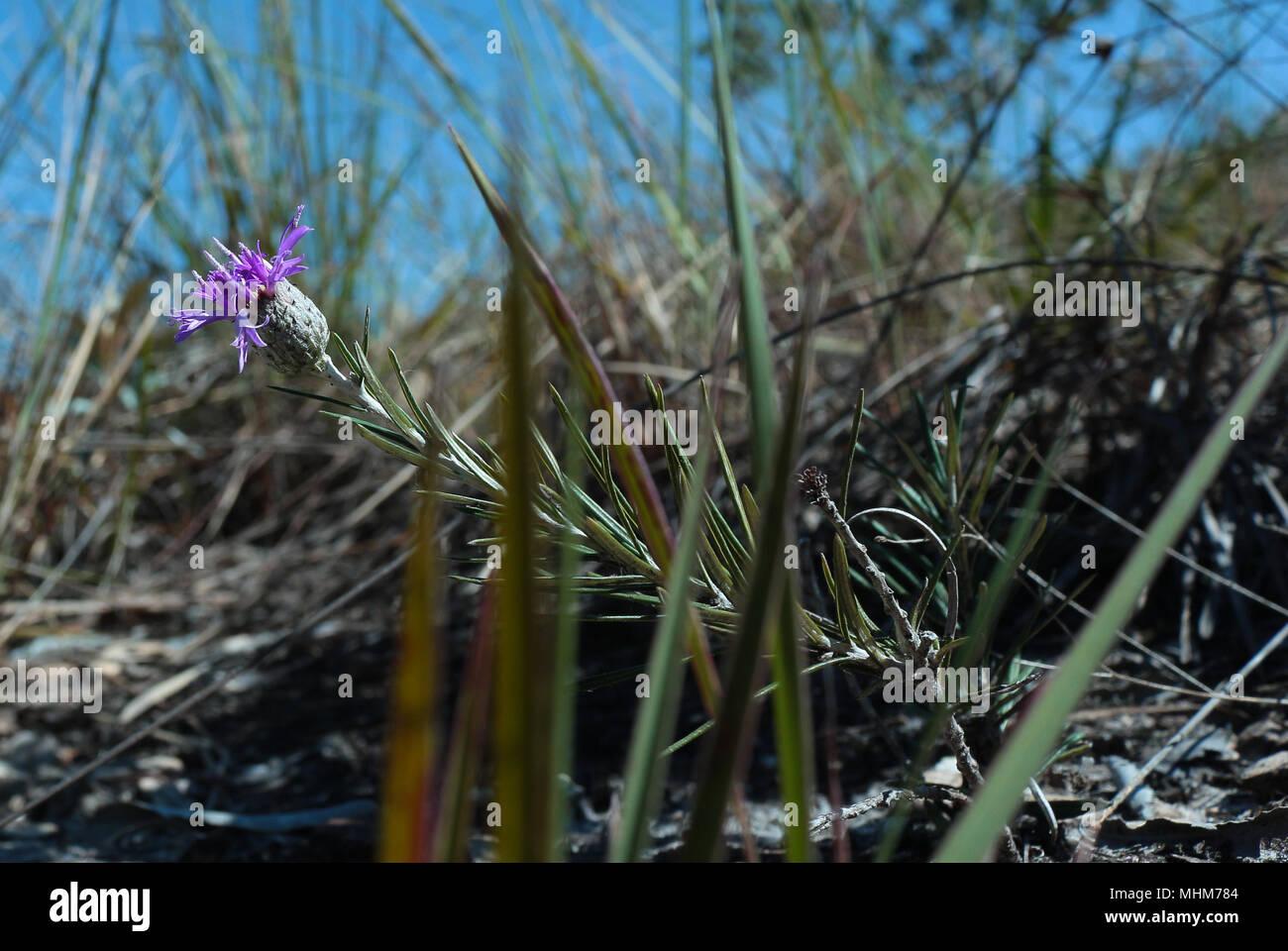 Small lilac flower, asteraceae centaurea - Stock Image