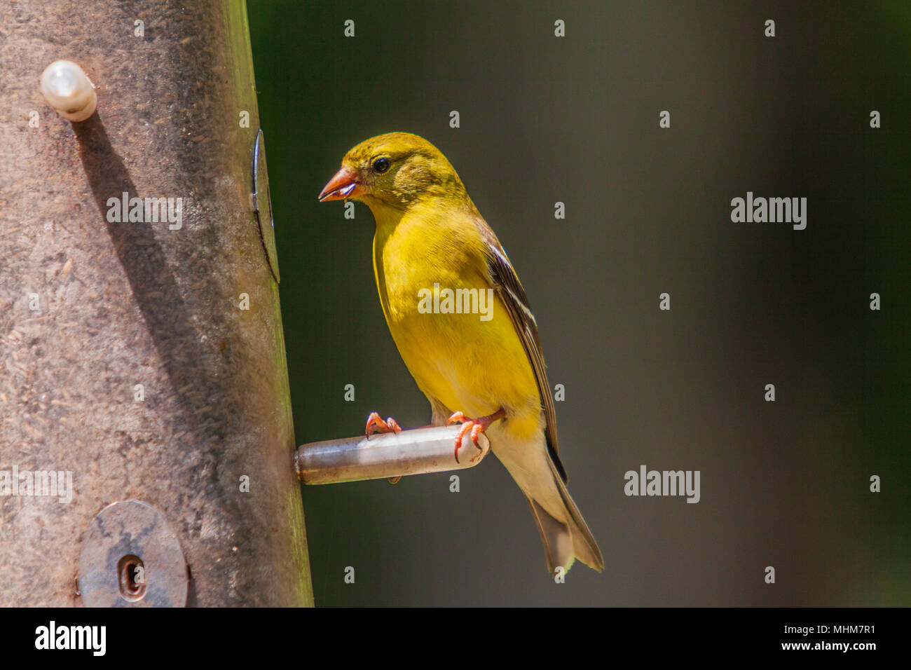 Male American Goldfinch, Spinus tristis, at a feeder in backyard in McLeansville, NC. - Stock Image