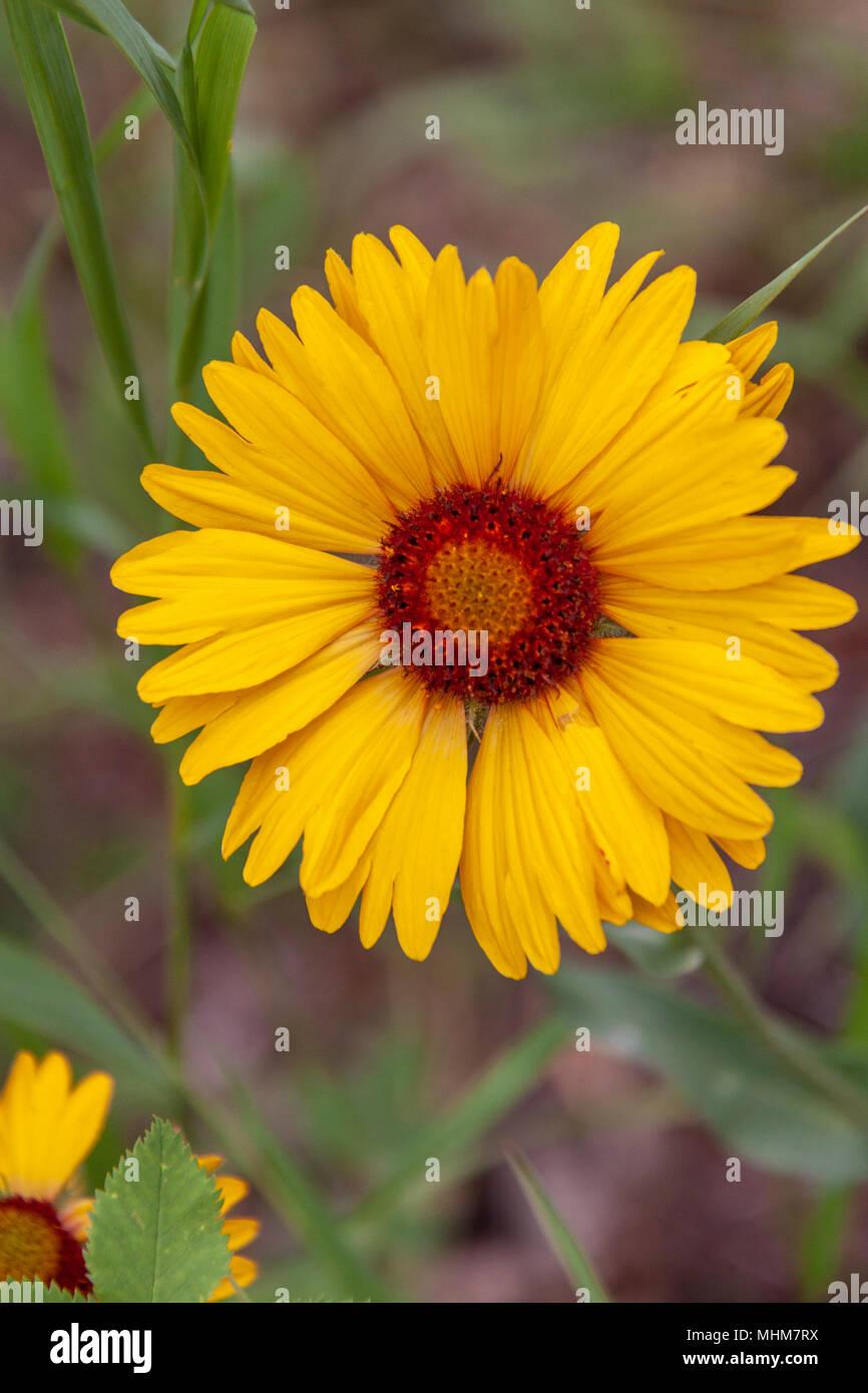 Blanketflower Gaillardia Aristata Blooming In Two Medicine Area Of