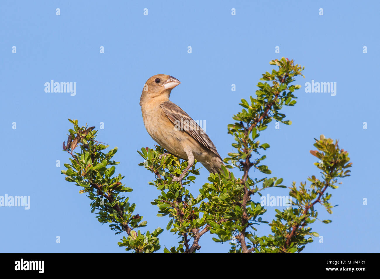 Female Blue Grosbeak, Passerina caerulea, looking for water and relief from summer heat at a ranch in South Texas. - Stock Image