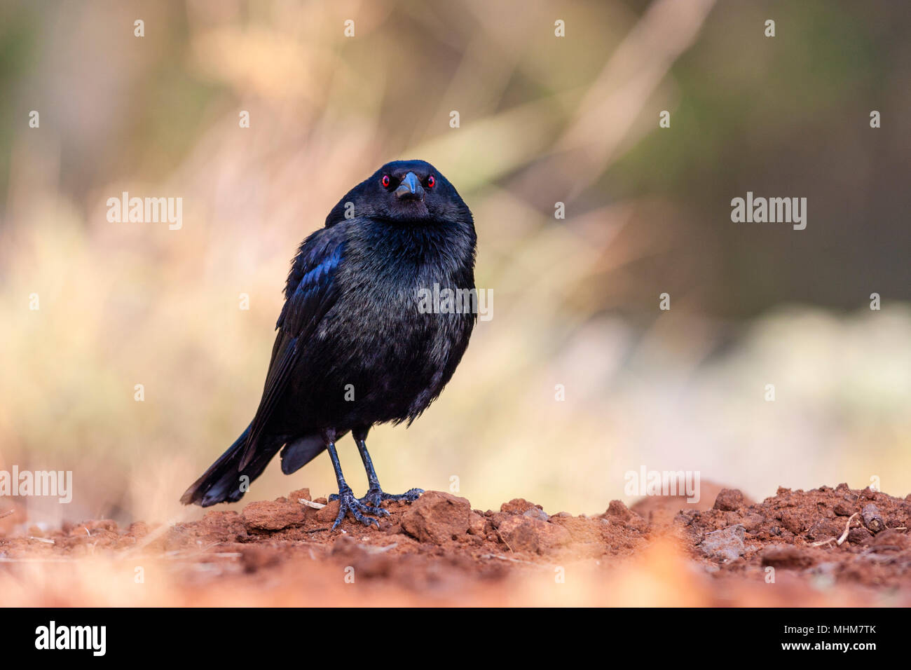 Bronzed Cowbird, Molothrus aeneus, looking for water and relief from summer heat, on a ranch in South Texas. This bird is a brood parasite. - Stock Image