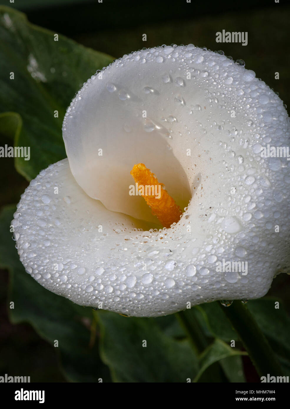 Rain drops on Calla Lily in the gardens at Savegre Mountain Lodge in the Tamalanca Mountains in Costa Rica. - Stock Image