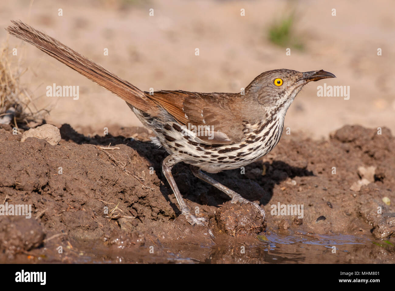 Long-billed Thrasher, Toxostoma longirostre, looking for water and relief from summer heat, on a ranch in South Texas. Stock Photo