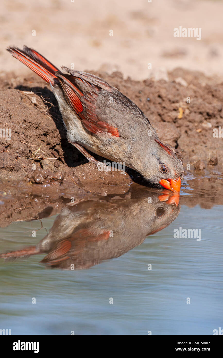 Female Northern Cardinal, Cardinalis cardinalis, looking for water and relief from summer heat, on a ranch in South Texas. Stock Photo