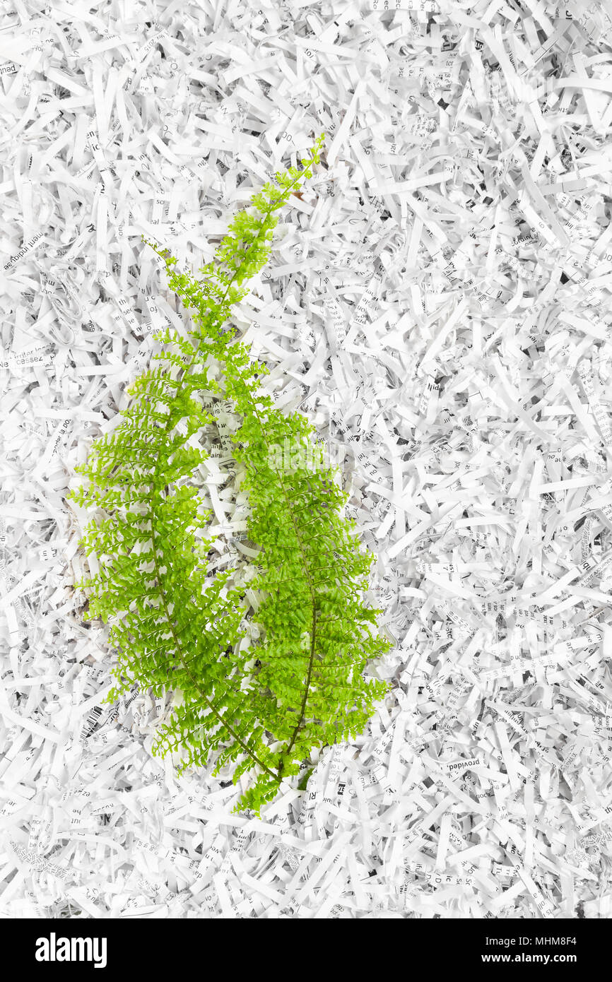 Green fern plant on white shredded paper background. - Stock Image