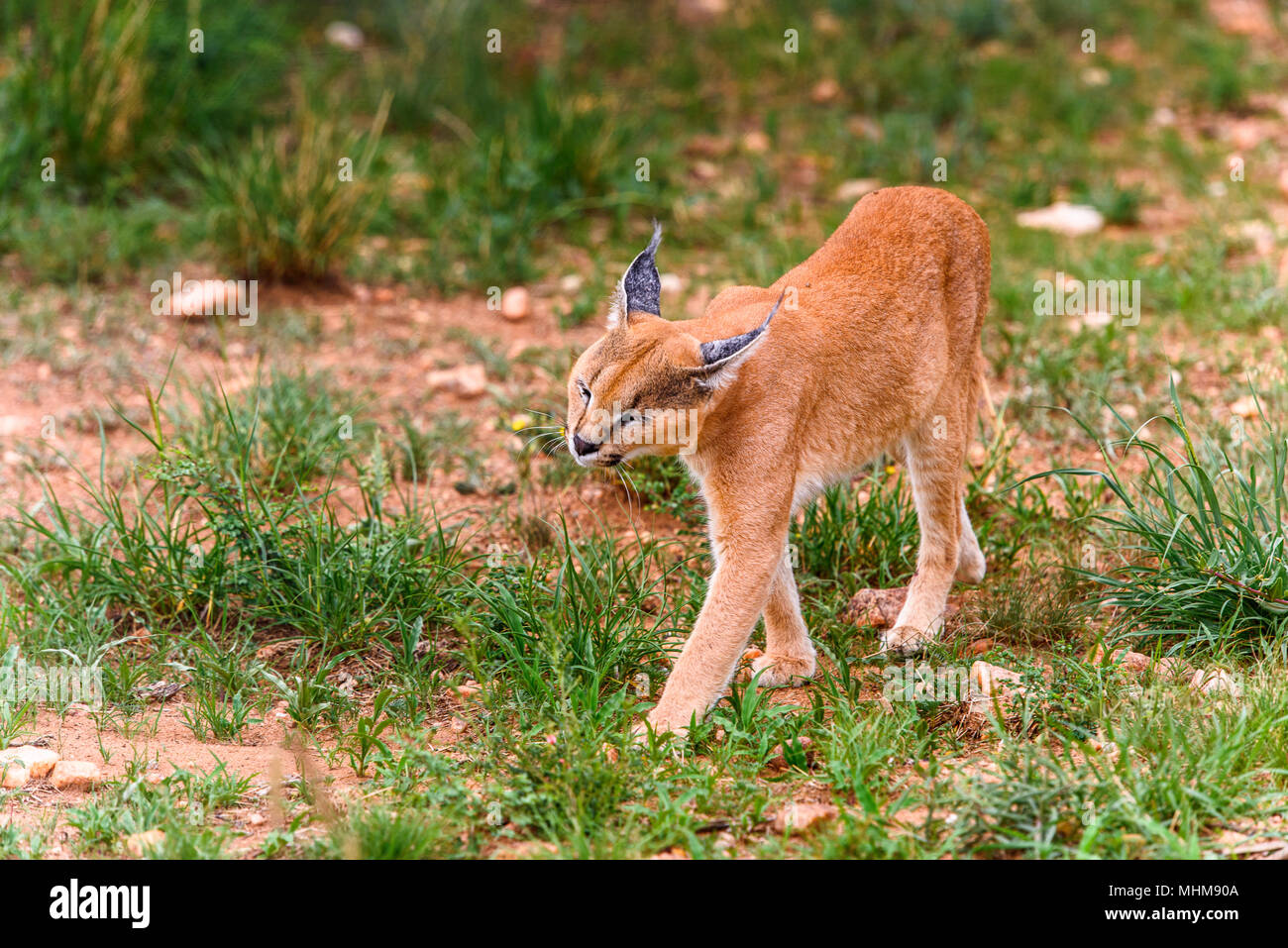 Caracal close view at the Naankuse Wildlife Sanctuary, Namibia, Africa - Stock Image