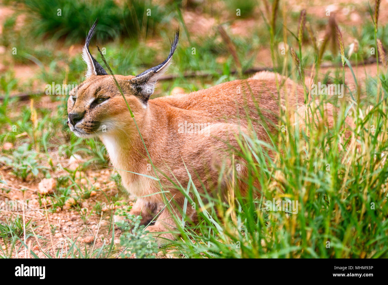 Close up of a caracal at the Naankuse Wildlife Sanctuary, Namibia, Africa - Stock Image